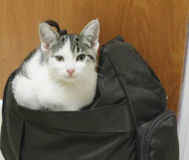 kitten sitting on a cat carrier in the exam room at Grass Lake Animal Hospital Jackson County Michigan